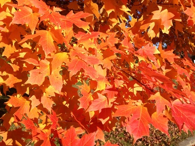 Mapel leaves from the Maple tree - great wood for bending
